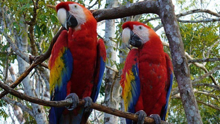 conap-libero-guacamayas-rojas-reserva-biosfera-maya-peten