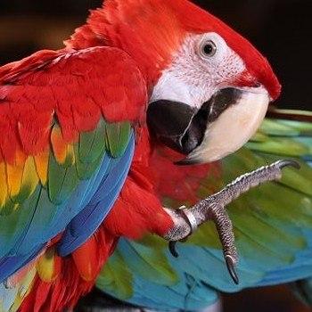conap-libero-guacamayas-rojas-reserva-biosfera-maya-peten-area-anidacion-especies