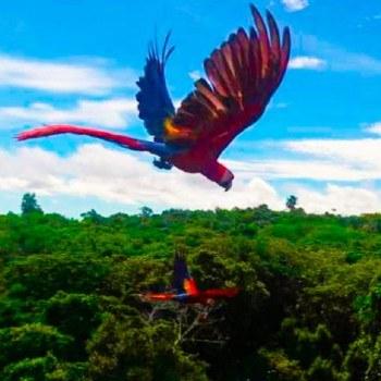 conap-libero-guacamayas-rojas-reserva-biosfera-maya-peten-habitat-jaulas-vuelo