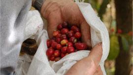 Regiones de Guatemala que producen café