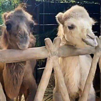 nuevos-camellos-viven-zoologico-aurora-ciudad-guatemala-integrantes-instalaciones