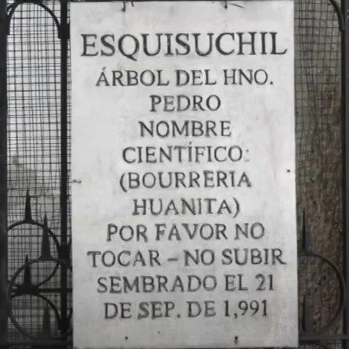 univision-publico-reportaje-arbol-hermano-pedro-antigua-guatemala-iglesia-san-francisco-grande
