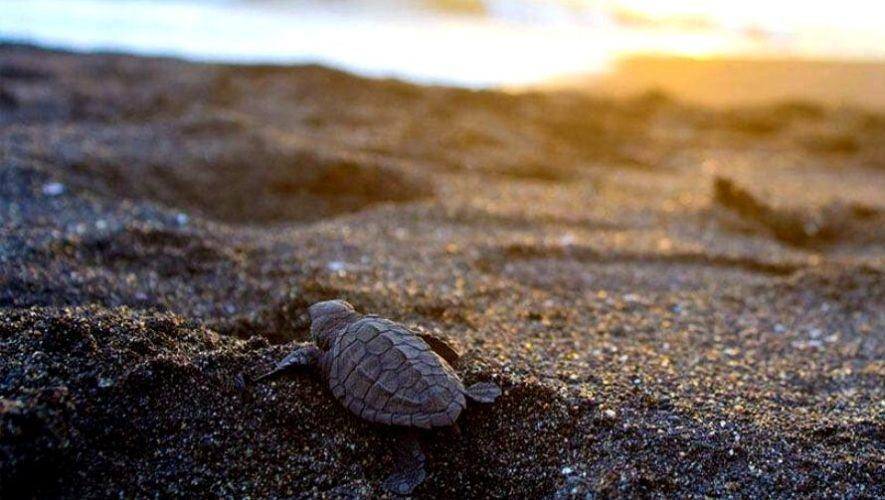 Liberación de tortugas en las playas de Monterrico | Enero 2021
