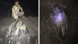 Tortugas marinas Baule anidaron en playa de Guatemala después de 20 años