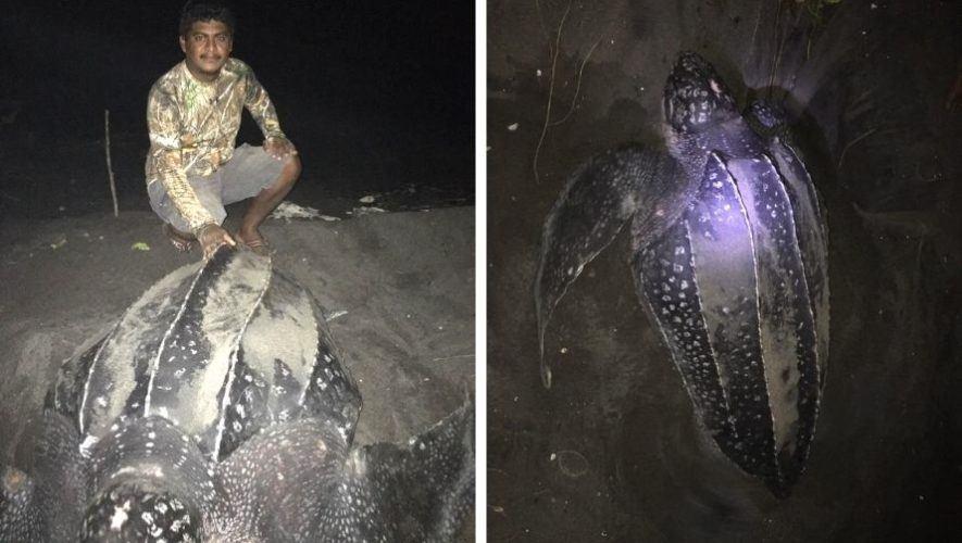 tortugas-marinas-baule-aparecieron-guatemala-despues-20