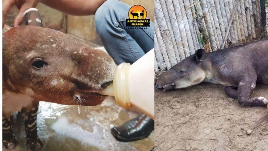 Auto Safari Chapín busca nombre para el bebé tapir, el nuevo integrante del recinto