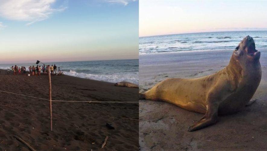 CONAP compartió fotografías del avistamiento de un elefante marino en Chiquimulilla