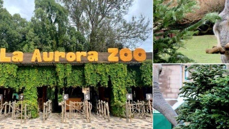 Parque Zoológico La Aurora recibe donaciones de árboles de Navidad