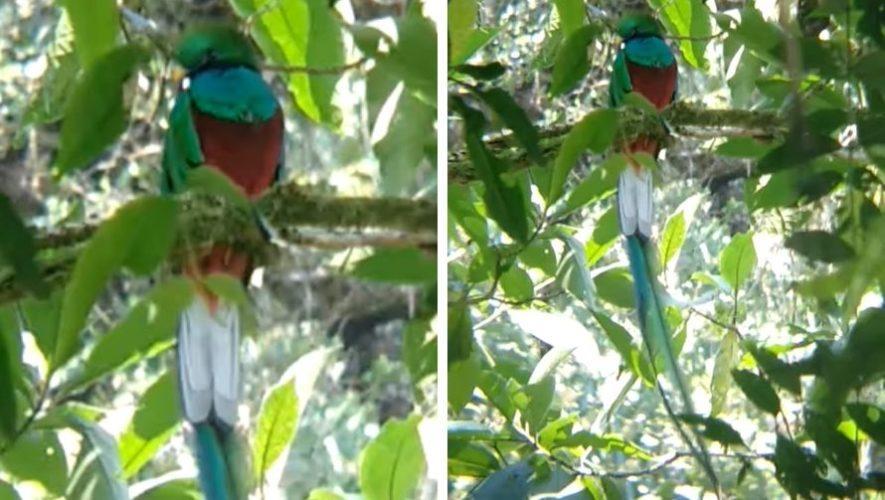 conap-compartio-video-avistamiento-quetzal-san-marcos