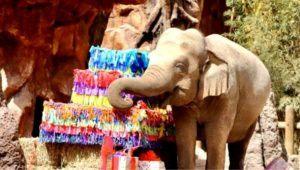 Celebración de los 60 años de Trompita en el Zoológico La Aurora   Febrero 2021