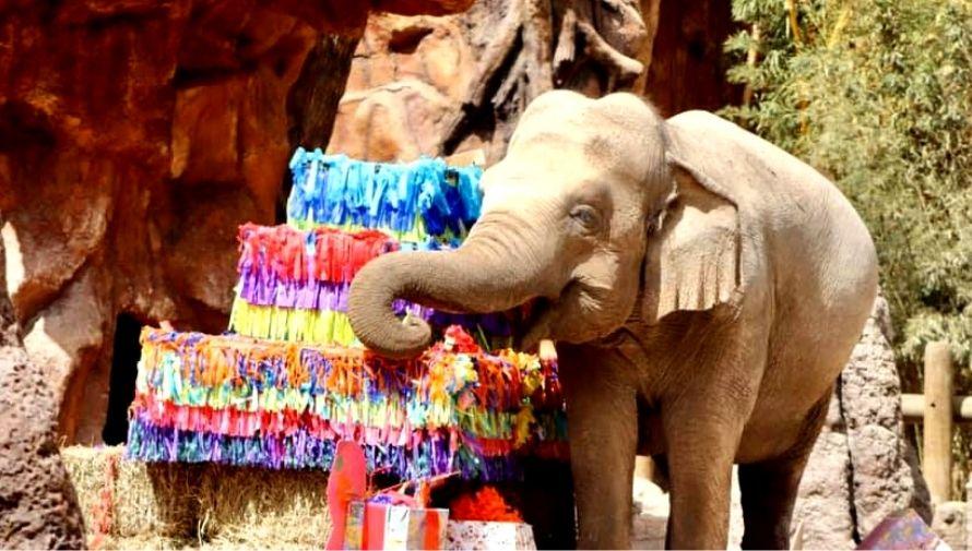 Celebración de los 60 años de Trompita en el Zoológico La Aurora Febrero 2021 (1)
