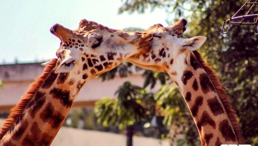 Celebración del Día del Cariño en el Zoológico La Aurora | Febrero 2021