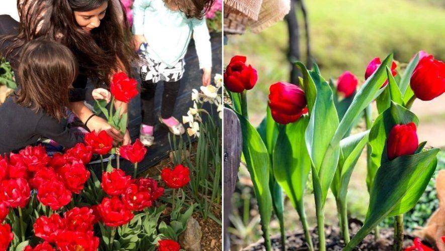 Festival de tulipanes cerca de Antigua Guatemala | Febrero 2021