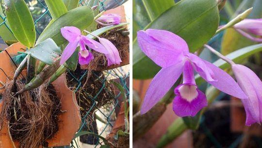 fotos-orquideas-moradas-candelaria-florecen-guatemala
