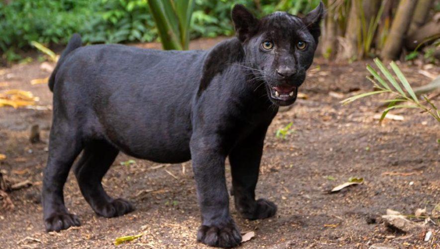 Nashira, la nueva jaguar melánico del Zoológico La Aurora