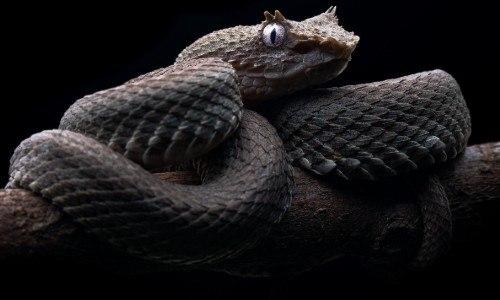 guatemalteco-andres-novales-fotografio-vibora-pestanas-izabal-Bothriechis schlegelii