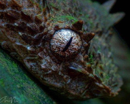 guatemalteco-andres-novales-fotografio-vibora-pestanas-izabal-especie