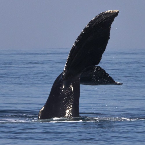 guatemalteco-daniel-nunez-compartio-fotografias-avistamiento-ballena-ecuintla-guatemala-biologia