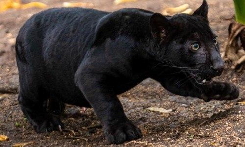 nashira Es una pantera o un jaguar, zoologico la aurora