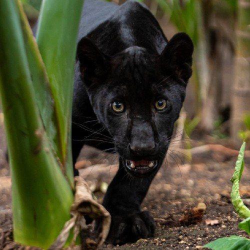 nashira-nueva-jaguar-melanico-zoologico-la-aurora