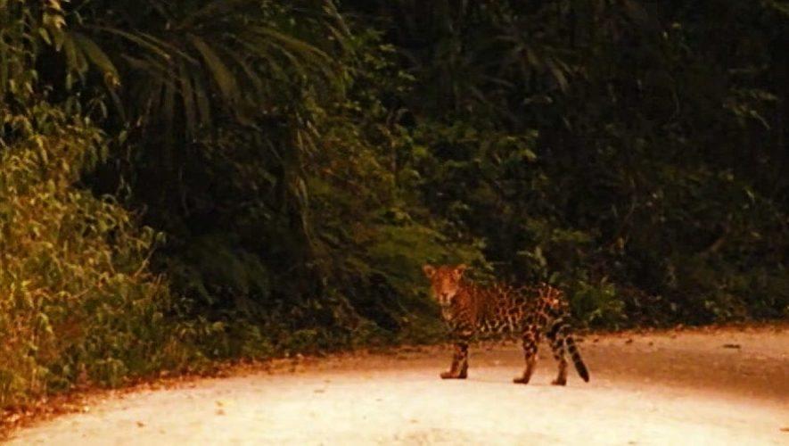 El guatemalteco Sergio Montúfar grabó el avistamiento de un jaguar rumbo a Uaxactún, Petén
