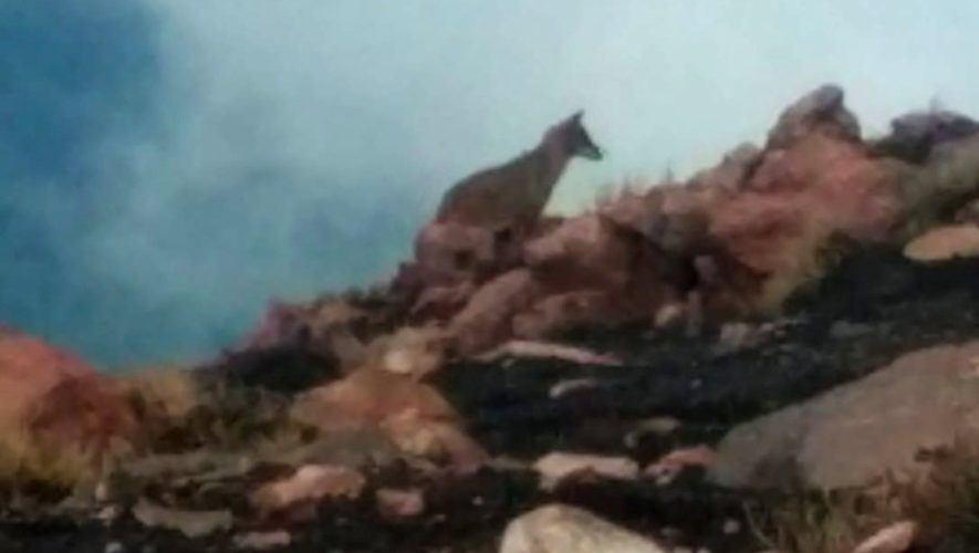 Las curiosas imágenes de un coyote que fue captado en el Volcán Acatenango, abril 2021