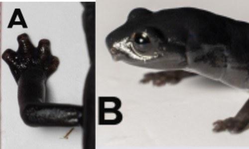 Registraron nueva especie de salamandra en Alta Verapaz