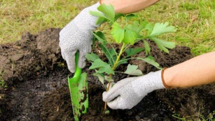 Siembra de árboles en un jardín de Antigua Guatemala   Abril 2021