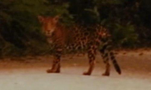 jaguar uaxactun peten guatemala avistamiento video