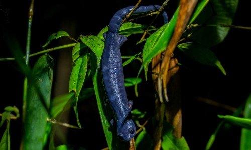 nueva salamandra guatemala especie uvg guatemaltecos