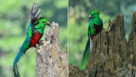 ¿Cómo alimenta a sus crías el Quetzal, ave nacional de Guatemala?