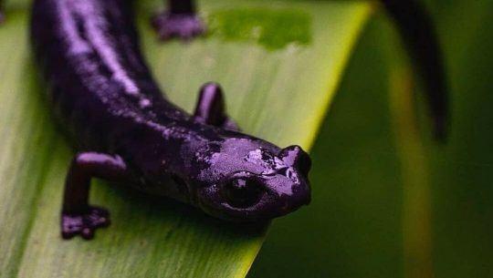 Fotos de la Bolitoglossa qeqom, la nueva especie de salamandra descubierta en Guatemala 1