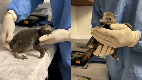 Fotos y videos del nuevo bebé pingüino nacido en el Zoológico La Aurora