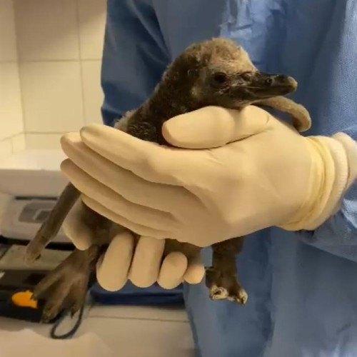 nacimiento primer pingüino guatemalteco