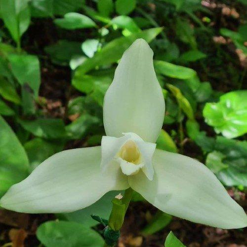 orquigonia coban alta verapaz guatemala
