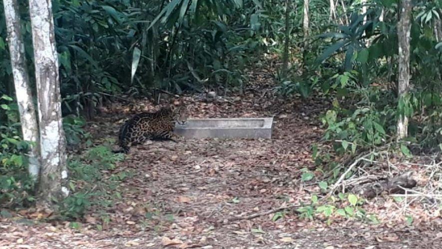 Bióloga guatemalteca grabó a jaguar bebiendo agua en el ParqueNacional Tikal, Petén