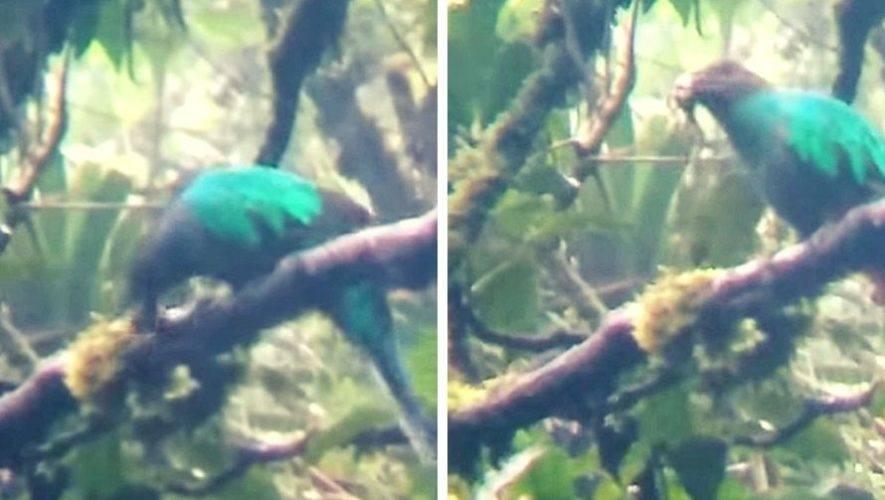 Polluelos de Quetzal nacieron en nido artificial en refugio de San Marcos, junio 2021