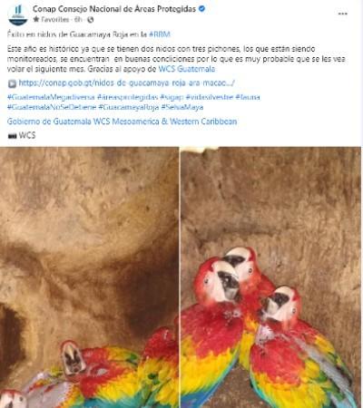 Seis pichones de Guacamaya Roja nacieron en Petén