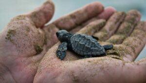 Liberación de tortugas en Monterrico, Santa Rosa | Septiembre-Diciembre 2021