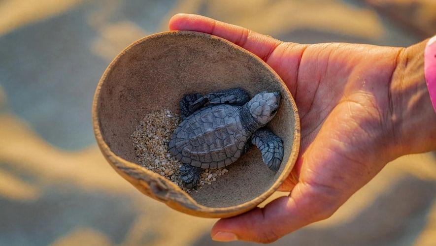Liberación de tortugas en Monterrico, Santa Rosa   Septiembre-Diciembre 2021